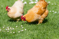 Free range chickens healthy looking feeding and scratching on lush green grass Royalty Free Stock Photos