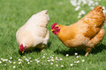 Free range chickens Royalty Free Stock Photo