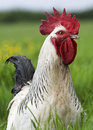 Free Range Cockerel Royalty Free Stock Photo