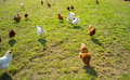 Free range foraging chickens at organic farm Royalty Free Stock Photos