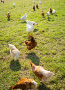 Free range foraging chickens at organic farm Stock Photo