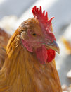 Free range hen closeup close up portrait of a taken outdoors Royalty Free Stock Photos