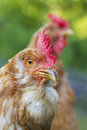 Free range hens a hen brown leghorns portrait Stock Photo