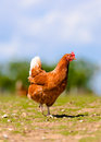 Free Range Hylne Hen Royalty Free Stock Photo