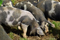 Free range pigs grazing in an organic ecological farm Royalty Free Stock Photo