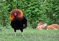 Free range rooster fluffing his neck feathers Royalty Free Stock Photo