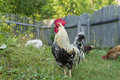 Free range rooster and hens beautiful brown leghorn Royalty Free Stock Photography