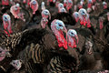 Free-Range Turkeys Royalty Free Stock Photo