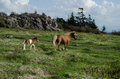 Free ranging ponies a mother horse and young colt run in the mountains of virginia Stock Photos
