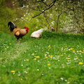 Free rooster and his hen on spring Royalty Free Stock Image
