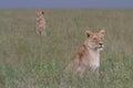 Free wild roaming african lion Royalty Free Stock Photo