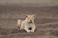 Free wild roaming african lion Royalty Free Stock Photo