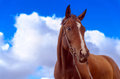 Freedom brown horse before blue sky Royalty Free Stock Photos