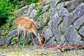 Freely walked deer on miyajima island in hiroshima japan Royalty Free Stock Photos
