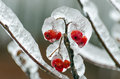 Freezing rain twigs of tree encased in ice after a storm Royalty Free Stock Photo