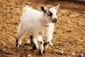 French Alpine Goat Baby