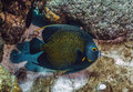 French angelfish, Pomacanthus paru, Royalty Free Stock Photo