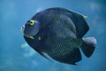 French angelfish (Pomacanthus paru). Royalty Free Stock Photo