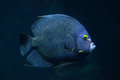 French angelfish Pomacanthus paru. Royalty Free Stock Photo