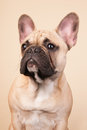 French bulldog Royalty Free Stock Image