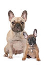 French Bulldog adult and puppy Royalty Free Stock Image