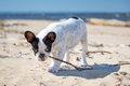 French bulldog on the beach with a stick Stock Image