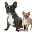 French bulldog and chihuahua portrait of a purebred bulldogand in front of white background Stock Images
