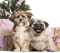 French Bulldog and crossbreed sitting in front of Christmas decorations Stock Photography