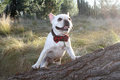 French bulldog a cute with his bow tie on Royalty Free Stock Photography