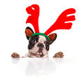 French bulldog dressed as reindeer Rudolph Royalty Free Stock Photo