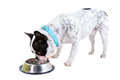 French bulldog drinking water from the bowl over white Royalty Free Stock Image