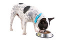 French bulldog eating dog food from his bowl Royalty Free Stock Photography