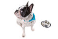 French bulldog eating dog food from his bowl Stock Images