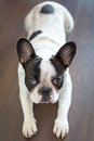 French bulldog on the floor laying Stock Image