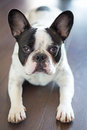 French bulldog on the floor laying Stock Photography