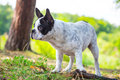 French bulldog in the forest on walk Royalty Free Stock Image