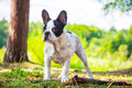 French bulldog in the forest on walk Stock Photos