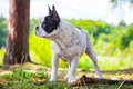 French bulldog in the forest on walk Stock Images