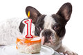 French bulldog on his first birthday with doggy cake Royalty Free Stock Image
