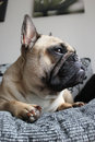 French bulldog laying on a sofa lying sat portrait Royalty Free Stock Photos