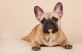 French bulldog laying in studio on blue background Stock Images