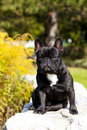 French bulldog male a with nice expression in his head is sitting on a wall Royalty Free Stock Image