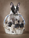 French Bulldog Mommy With Pupp...