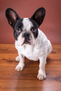 French bulldog portrait over brown backgroud Royalty Free Stock Photos