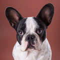 French bulldog portrait over brown backgroud Stock Photography