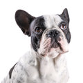 French bulldog portrait over white backgroud Royalty Free Stock Images