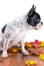 French bulldog portrait over white backgroud with autumn leaves Royalty Free Stock Photos