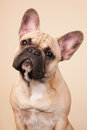 French bulldog portrait in studio on blue background Stock Image