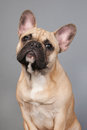 French bulldog portrait in studio on gray background Stock Images