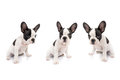 French bulldog puppies over white background Royalty Free Stock Photos